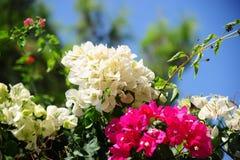 piękny kwiatów menchii biel Fotografia Stock