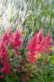 piękny kwiatów menchii deszcz Fotografia Stock