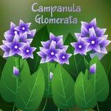 Piękny kwiat, ilustracja kampanuli glomerata kwiat Obraz Stock