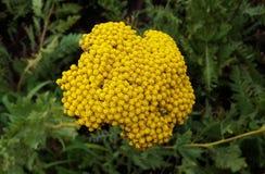 Piękny kwiat, krwawnika Dziki kwiat Fotografia Stock