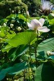 piękny kwiat lotos Zdjęcia Royalty Free