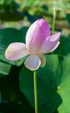 piękny kwiat lotos Fotografia Stock