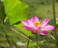 piękny kwiat lotos Obrazy Stock