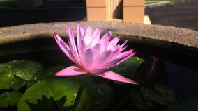 piękny kwiat lotos Obrazy Royalty Free