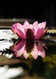 piękny kwiat lotos Fotografia Royalty Free