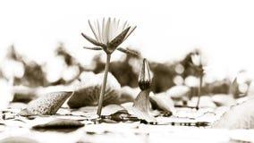 piękny kwiat lotos Obraz Stock
