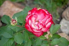 piękny kwiat rose obraz stock