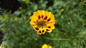Piękny kwiat Tagete Zdjęcia Royalty Free