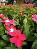 Piękny kwiat w Azja Malezyjskim rolnictwie, Horticulture & Agrotourism, Zdjęcia Stock