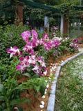 Piękny kwiat w Azja Malezyjskim rolnictwie, Horticulture & Agrotourism, Fotografia Royalty Free