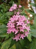 Piękny kwiat w Azja Malezyjskim rolnictwie, Horticulture & Agrotourism, Obrazy Stock