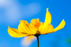Piękny kwiat w polu i niebieskim niebie makro-, Obrazy Royalty Free