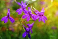 Piękny kwiat z kroplami rosa Zdjęcia Stock