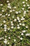 Pi?kny kwiatu Cistus salviifolius zdjęcie stock