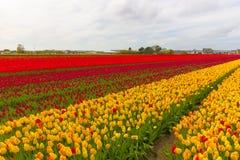 Piękny kwiatu pole w wiosna czasie w holandiach Fotografia Stock