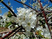 Pi?kny kwitn?cy Sakura Czere?niowy okwitni?cie W Japonia Sakura symbolizuje chmury obrazy stock