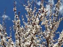 Pi?kny kwitn?cy Sakura Czere?niowy okwitni?cie W Japonia Sakura symbolizuje chmury obrazy royalty free