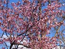 Pi?kny kwitn?cy Sakura Czere?niowy okwitni?cie W Japonia Sakura symbolizuje chmury zdjęcie royalty free