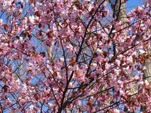 Pi?kny kwitn?cy Sakura Czere?niowy okwitni?cie W Japonia Sakura symbolizuje chmury fotografia stock