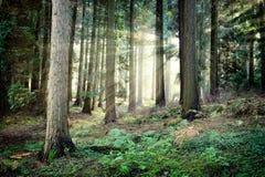 piękny lasowy tajemniczy zmierzch Obraz Stock
