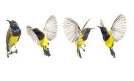 Pi?kny lataj?cy ptak Popieraj?cy Sunbird odizolowywa na Bia?ym tle Inkasowy lataj?cy ptak zdjęcie stock