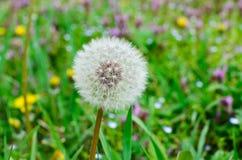 Piękny lato krajobraz, Dandelion i Fotografia Stock