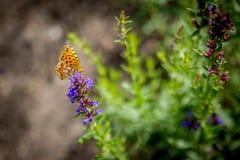 Piękny lato motyl na trawie Zdjęcia Royalty Free
