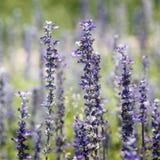 Piękny lawendowy kwiat Zdjęcia Stock