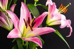 Pi?kny leluja kwiat na ciemnym tle obrazy royalty free