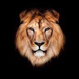 Piękny lew Obrazy Stock
