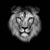 Piękny lew Fotografia Royalty Free