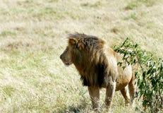 Piękny lew blisko krzaka Obraz Stock