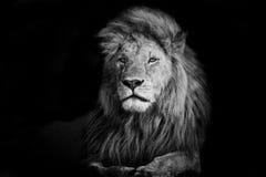 Piękny lew Romeo II Obraz Royalty Free