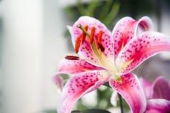 Piękny lilly Zdjęcie Royalty Free