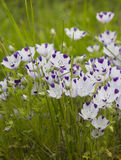 Piękny lily irys Lato kwiat Obraz Stock