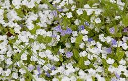 Piękny lily irys Lato kwiat Zdjęcia Stock