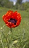 Piękny lily irys Lato kwiat Zdjęcie Stock