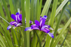 Piękny lily irys Lato kwiat Obraz Royalty Free