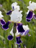 Piękny lily irys Lato kwiat Obrazy Royalty Free