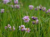 Piękny lily kwiatostan na tle jaskrawy - zielona trawa Zdjęcia Royalty Free