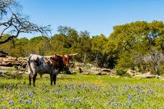 Piękny longhornu byk Obrazy Stock