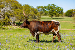 Piękny longhornu byk Zdjęcie Stock