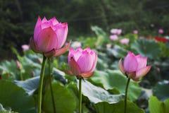 Piękny lotos w wsi Chiny Zdjęcie Stock