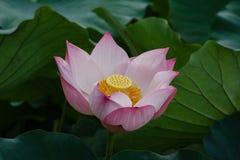 Piękny Lotosowego kwiatu kwitnienie Zdjęcie Royalty Free