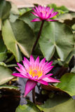 Piękny Lotus4 Obraz Royalty Free