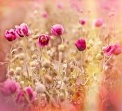 Piękny makowy kwiatu pole Obrazy Stock
