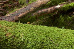 Piękny mech las plateau, Japonia Obrazy Stock