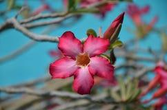 Piękny menchia kwiat na drzewie Fotografia Stock