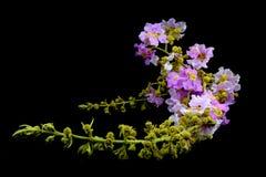 Piękny menchia kwiat Thailand Fotografia Stock