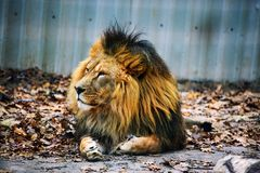 Pi?kny Mo?ny lew zdjęcie royalty free